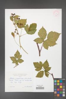 Rubus josephianus [KOR 47185]
