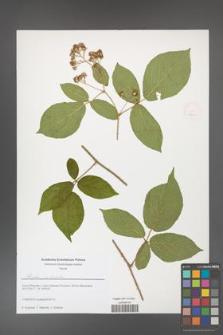 Rubus josholubii [KOR 51667]