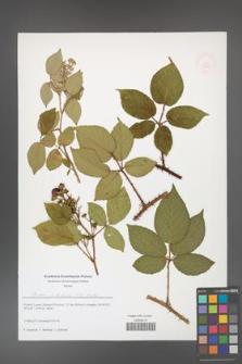 Rubus josholubii [KOR 51612]