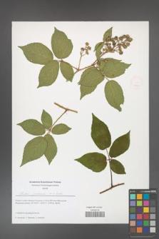 Rubus josholubii [KOR 51666]