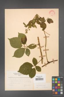 Rubus koehleri [KOR 22529]