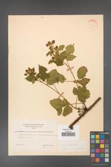 Rubus koehleri [KOR 22528]