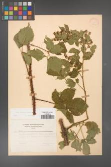 Rubus koehleri [KOR 22511]