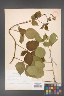 Rubus koehleri [KOR 31389]