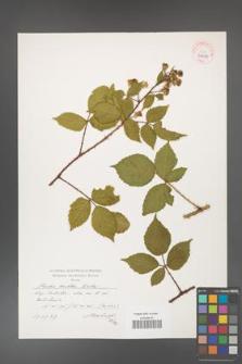 Rubus koehleri [KOR 39081]