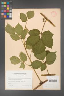 Rubus koehleri [KOR 22507]
