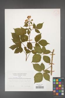 Rubus koehleri [KOR 25426]