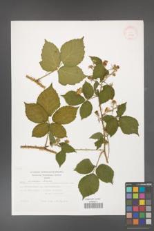 Rubus koehleri [KOR 29490]