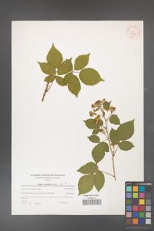 Rubus koehlerii [koehleri] [KOR 39785]