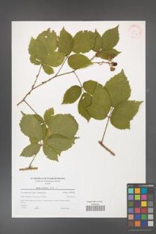 Rubus koehlerii [koehleri] [KOR 38926]