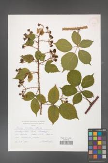Rubus koehleri [KOR 32800]