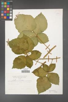 Rubus kuleszae [KOR 25852]