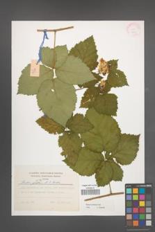 Rubus kuleszae [KOR 37931]