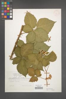 Rubus kuleszae [KOR 25224]