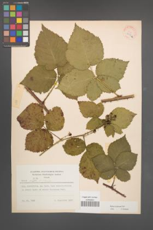 Rubus kuleszae [KOR 30502a]
