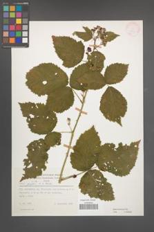 Rubus kuleszae [KOR 25697]