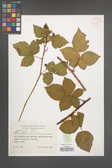 Rubus kuleszae [KOR 37922]