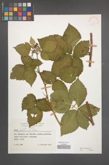 Rubus kuleszae [KOR 25699]