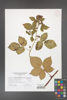 Rubus kuleszae [KOR 42000]