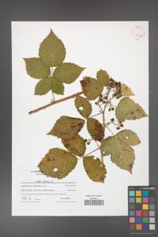 Rubus kuleszae [KOR 42104]