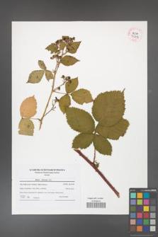 Rubus kuleszae [KOR 42113]