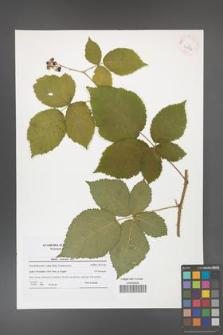 Rubus kuleszae [KOR 41574]
