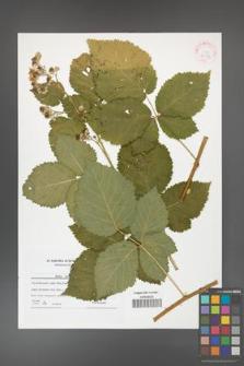 Rubus kuleszae [KOR 42179]