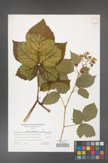 Rubus kuleszae [KOR 39620]