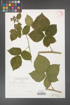 Rubus kuleszae [KOR 32388]