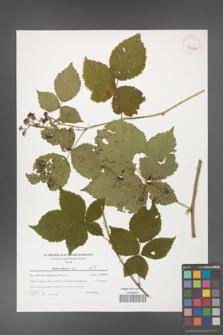 Rubus kuleszae [KOR 39689]