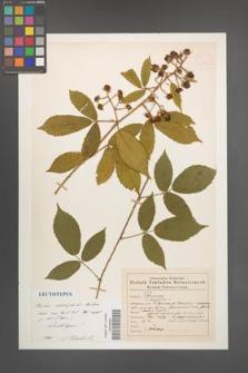 Rubus abietiphilus [KOR 54010]