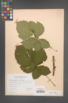 Rubus kuleszae [KOR 30488]