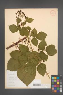 Rubus kuleszae [KOR 30480]