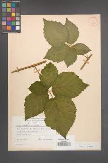 Rubus kuleszae [KOR 30487]
