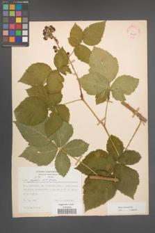Rubus kuleszae [KOR 30485]