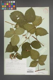 Rubus kuleszae [KOR 30493a]