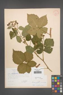 Rubus kuleszae [KOR 30481]