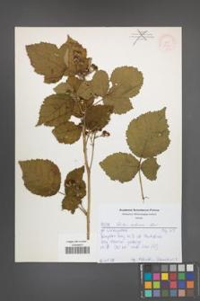 Rubus kuleszae [KOR 52165]