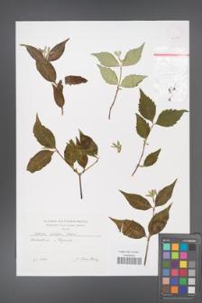 Abelia biflora [KOR 46435]