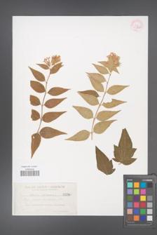 Abelia chinensis [KOR 33326]