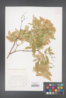 Abelia corymbosa [KOR 42946]