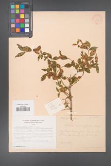 Abelia zanderi [KOR 28110]