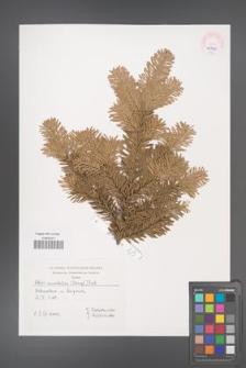 Abies amabilis [KOR 45541]