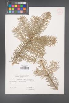Abies cilicica [KOR 31153]