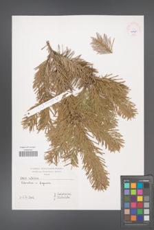 Abies cilicica [KOR 45538]