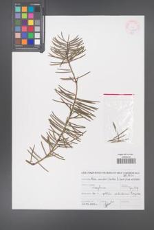 Abies concolor [KOR 46892]