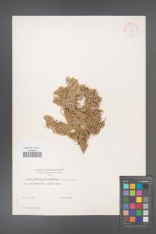 Abies concolor [KOR 11203]