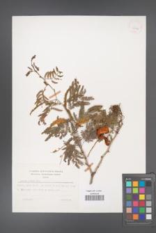 Acacia albida [KOR 25879]