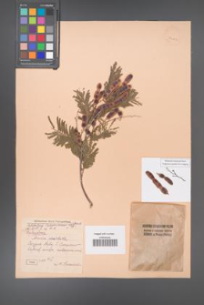 Acacia dealbata [KOR 24667]