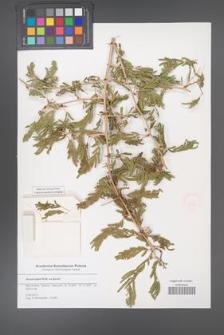 Acacia laeta [KOR 51554]